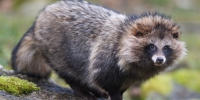 /uploaded-files/news/10229/Raccoon-Dog-Wallpapers-7.jpg - Россельхознадзор
